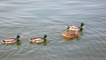Duck780