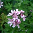 ベランダの小さな花#2