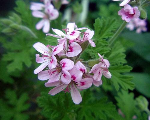 ベランダの小さな花#3
