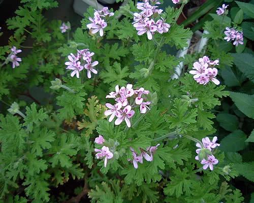ベランダの小さな花#1